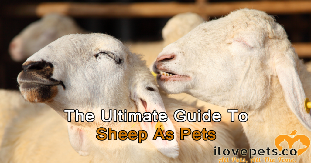 The Ultimate Guide To Sheep As Pets | I Love Pets