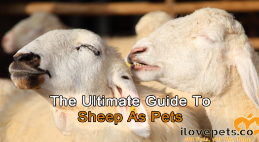 The Ultimate Guide To Sheep As Pets