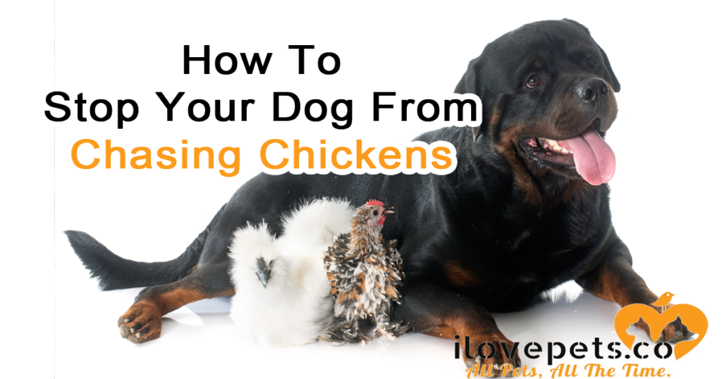 How To Stop Your Dog From Chasing Chickens And Other
