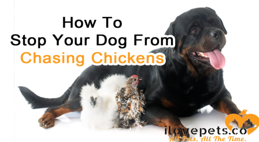 How To Stop Your Dog From Chasing Chickens And Other Livestock