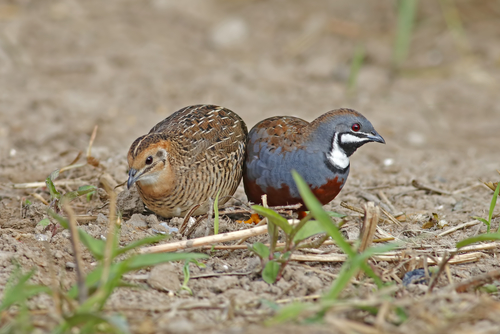 The Ultimate Guide To Quail As Pets I Love Pets