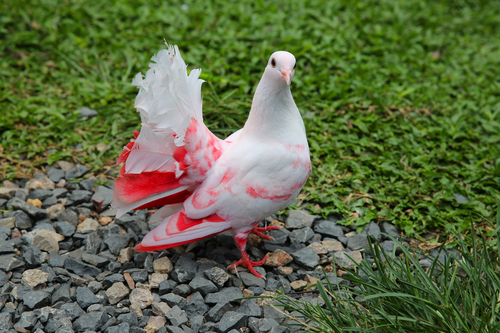 Fantail pigeon as domesticated pets, are bred for their bright colors and exotic plumes