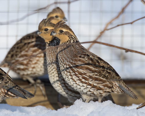 The Ultimate Guide To Quail As Pets | I Love Pets