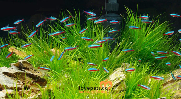 How Many Tetra Fish Can I Put In A 5, 10, 20 Gallons Or Liters Tank?