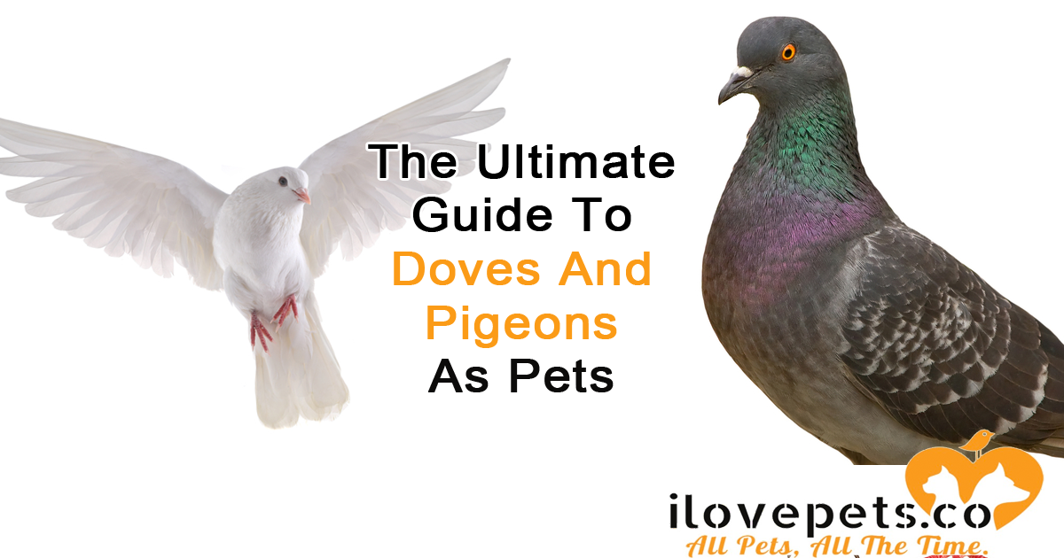 The Ultimate Guide To Doves And Pigeons As Pets