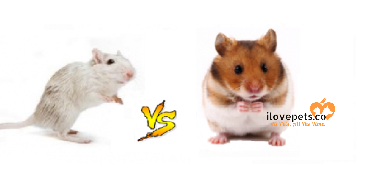 What Are The Differences Between A Gerbil And A Hamster