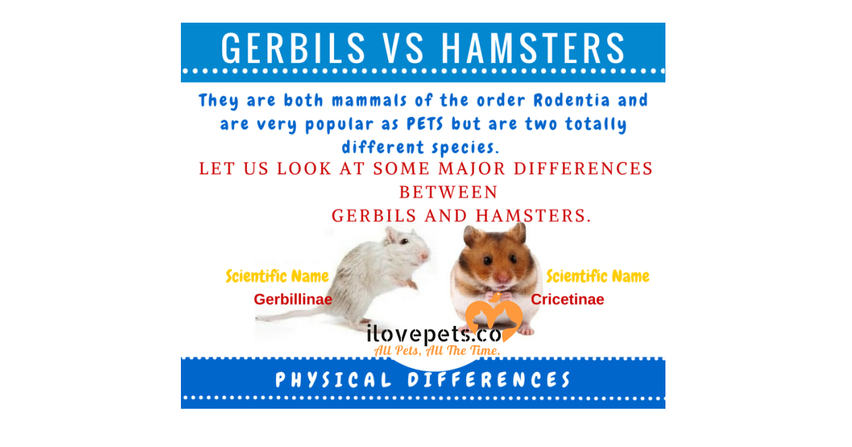 the major differences between gerbils and hamsters
