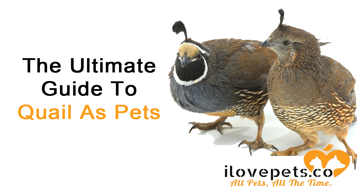 The Ultimate Guide To #Quail As Pets