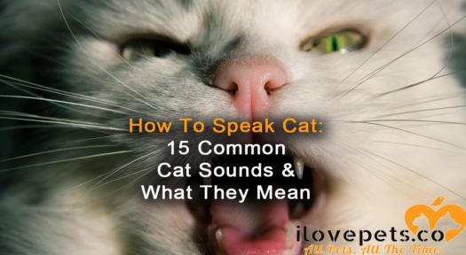 How To Speak Cat – 15 Unique Cat Sounds, Translated