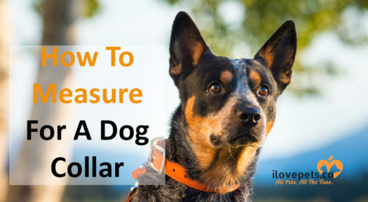 How To Measure Your Dog For A Collar?