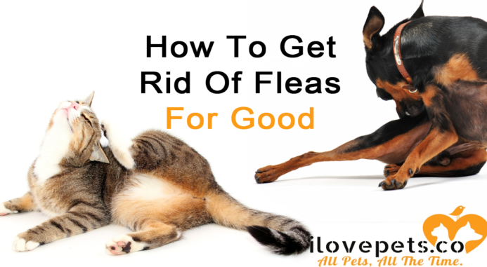 Fleas On Pets – Remedies, Myths And Prevention