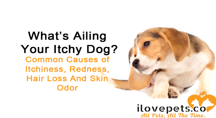 Why Your Dog Is Red, Itchy, Smelly And Balding – Common Dog Skin Issues