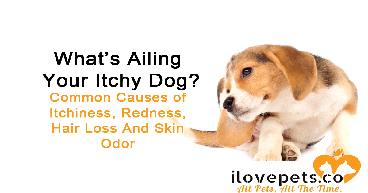 itchy dog redness hair loss causes