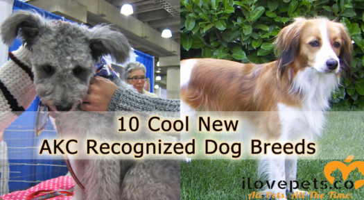 10 Cool New AKC Recognized Dog Breeds