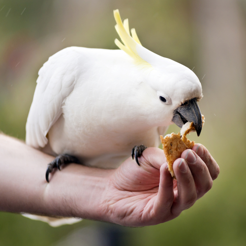Pet Cockatoo compared to other pet bird species