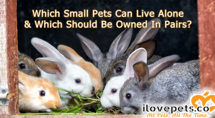 Which Small Pets Need To Be Kept In Pairs, And Which Are Best Housed Alone?