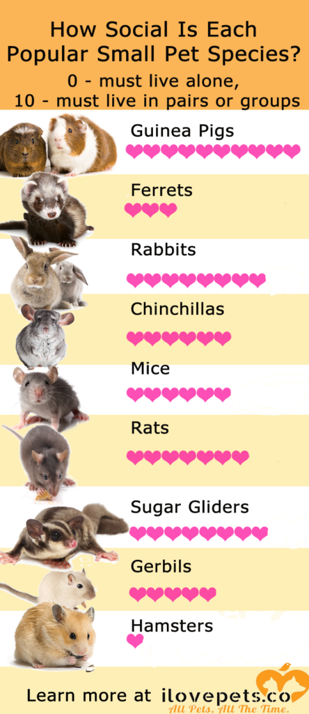 Which small pets need to live alone, and which need to be in pairs or groups? #hamster #rabbit #guineapig #rat