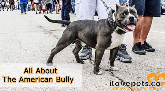 All About The American Bully | I Love Pets