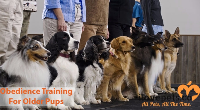 Obedience Training For Older Pups