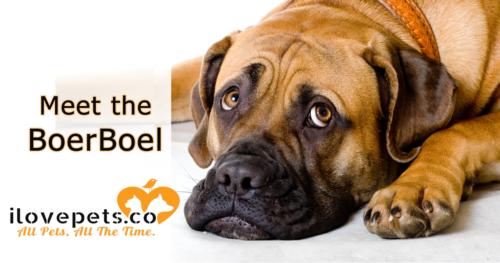 Meet the Boerboel, South African Farmer Dog