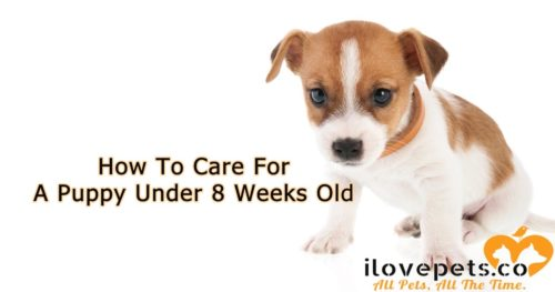 How To Care For A Puppy Younger Than 8 Weeks Old