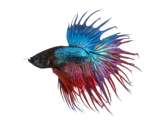 Crown tail betta fish