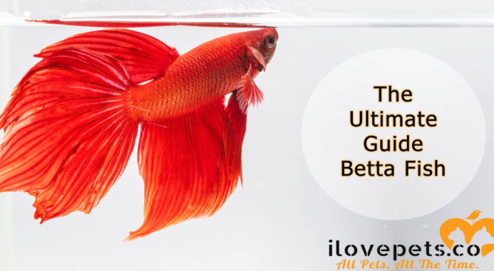 The Ultimate Guide To Betta Fish