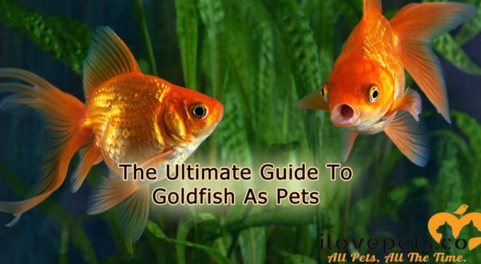 The ultimate guide to goldfish as pets | i love pets.