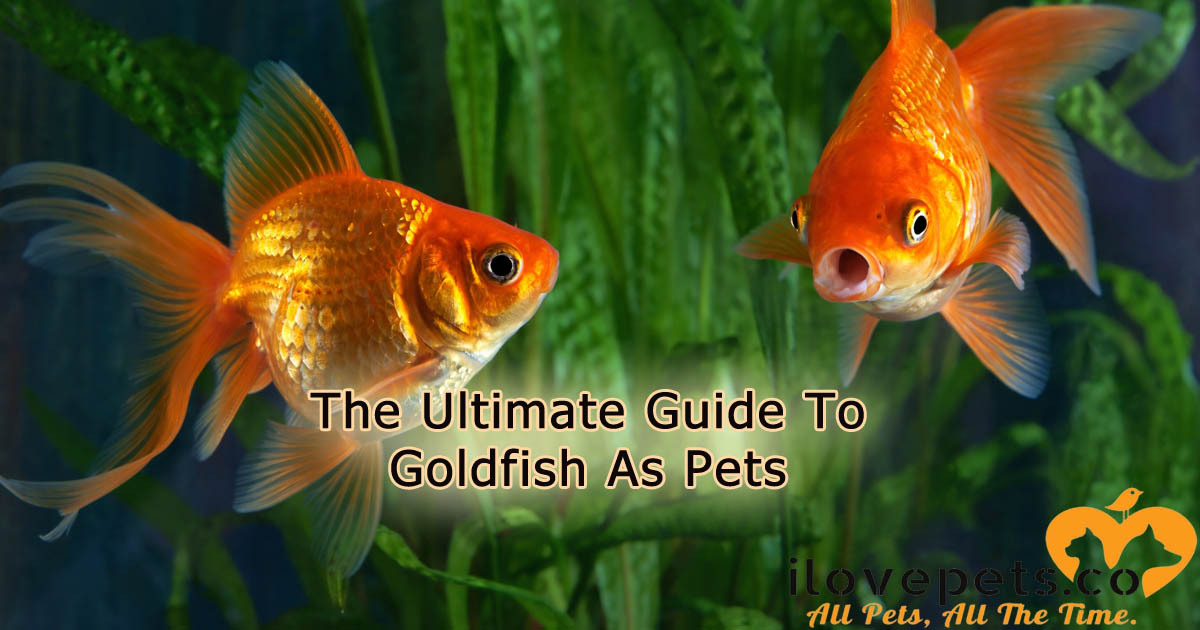 The Ultimate Guide To Goldfish As Pets