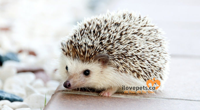 A Hedgehog Saved But The Real Cons Of Pet Trend Continues