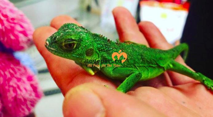 Pet Lizard Care Basics: Basic Care For Lizards As Pets